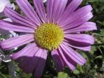 الوان الزهور ومعانيها margreinbleue.jpg
