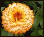 الوان الزهور ومعانيها souci2.jpg